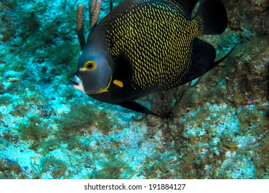 A french angel fish swimming on the reef