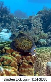 French angelfish, Pomacanthus paru, is a large angelfish of the family Pomacanthidae