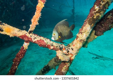 French angelfish (pomacanthus paru) looking for protection between poles on the deck on the ship wreck of the Hilma Hooker on the reef of tropical Bonaire island