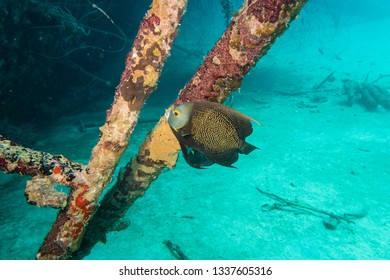 French angelfish (pomacanthus paru) on the deck on the ship wreck of the Hilma Hooker on the reef of tropical Bonaire island