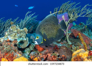 French Anglefish (Pomacanthus paru) swimming over a coral reef - Cozumel, Mexico