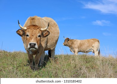 French Aubrac cow.  Curious cow with bell staring at the photographer