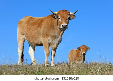 French Aubrac cow Curious cow staring at the photographer