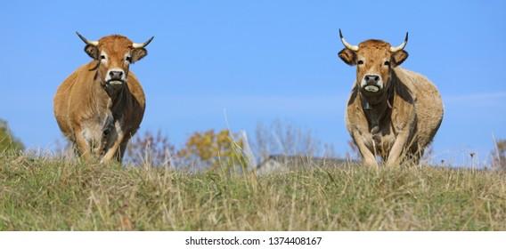 French Aubrac cows. Auvergne, France