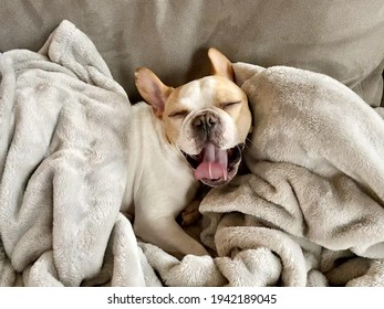 French bull morning yawn snuggled up in a fuzzy blanket
