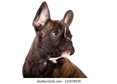 French Bulldog, 3,5 months old, isolated on white background