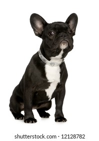 French Bulldog (6 months) in front of a white background
