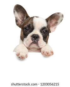 French bulldog above banner isolated on white background