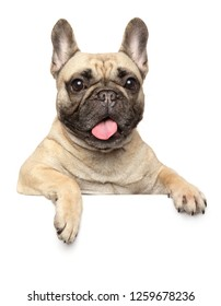 French Bulldog above banner, isolated on white background. Animal themes