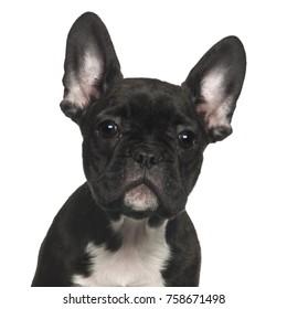 French Bulldog against white background