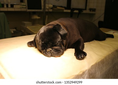 French bulldog in anesthesia on operating table