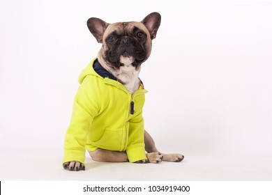 french bulldog  with animal clothes