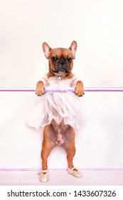 French bulldog ballerina in a dress