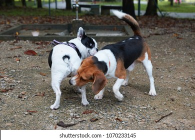 French bulldog and beagle greeting each other by sniffing butts at park