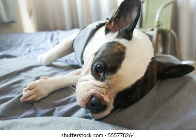 a French bulldog in the bed