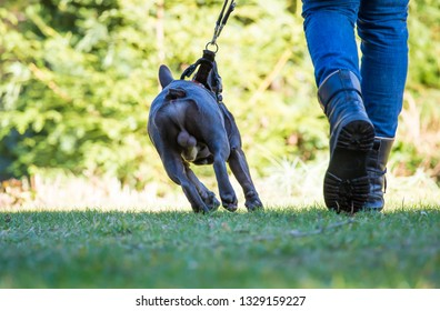 a French Bulldog is being kept on a short leash
