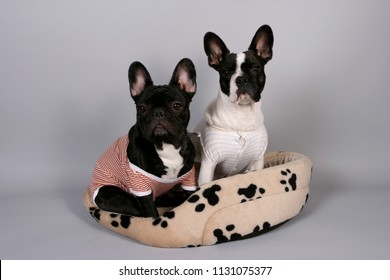 French Bulldog and Boston Terrier dressed with a todler romper