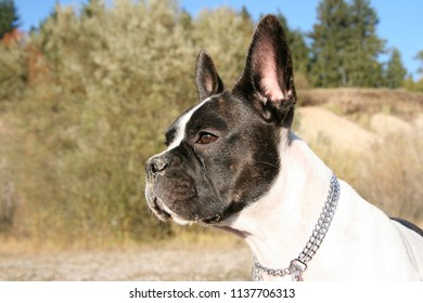 French bulldog and Boston Terrier Mix between bushes