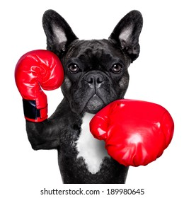 french bulldog boxing dog with big red gloves