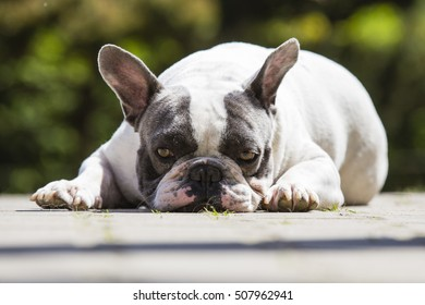 French Bulldog - Canis lupus familiaris on the green grass with blurred background