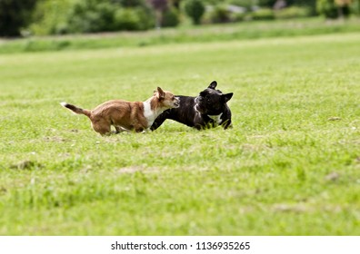 French Bulldog and Chihuahua playing around on the grass
