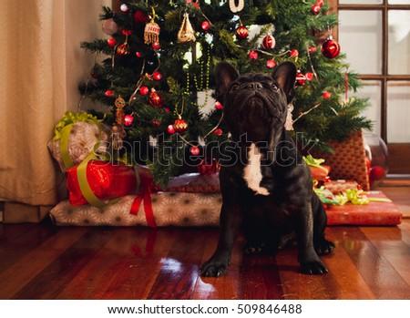 french bulldog at the christmas tree