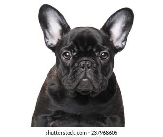 French bulldog. Close-up portrait on isolated white background