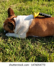 french bulldog combing with a furminator. Bulldog really like.