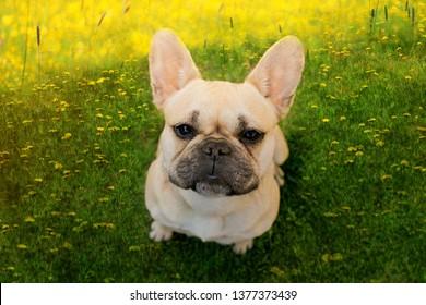 French bulldog in dandelions