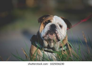 French Bulldog the dog