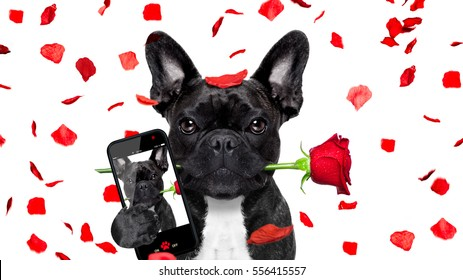 french bulldog dog crazy and silly in love   on valentines day , rose petals flying and falling as background, isolated on white ,rose  in mouth, taking a selfie with smartphone