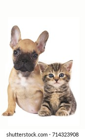 French bulldog dog with domestic kitten sitting on white background side by side