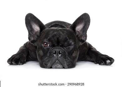 french bulldog dog exhausted or tired ,watching and staring at you like a control freak, isolated on white background