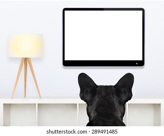 french bulldog dog in front of a blank and empty tv television or pc computer screen, and watching , in his living room