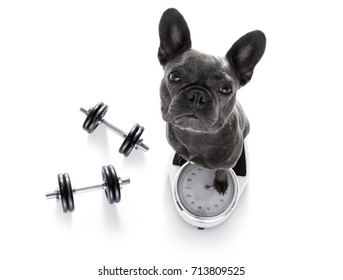 french bulldog  dog with guilty conscience  for overweight, and to loose weight , standing on a scale, isolated on white background with dumbbells