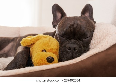 french bulldog dog having a sleeping and  relaxing a siesta in living room, with doggy teddy bear