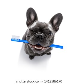 french bulldog dog holding a toothbrush with mouth , isolated on white background