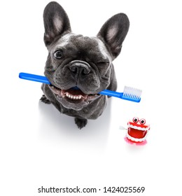 french  bulldog dog holding a toothbrush with mouth , isolated on white background, at the dentist