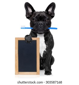 french bulldog dog holding toothbrush with mouth at the dentist or dental veterinary, isolated on white background, holding a blank empty banner , placard or blackboard