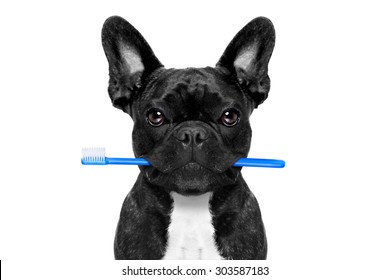 french bulldog dog holding toothbrush with mouth at the dentist or dental veterinary, isolated on white background