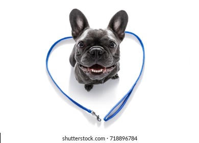 french bulldog dog looking up to owner waiting or sitting patient to play or go for a walk,in love with heart shape leash, isolated on white background
