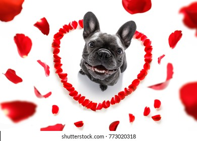 french bulldog  dog in love for happy valentines day with petals and rose flower , looking up in wide angle