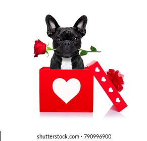 french bulldog dog in love for happy valentines day with  rose flower in  mouth , isaolated on white background petals flying around in air