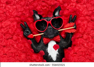 french bulldog dog lying in bed full of red rose flower petals as background  , in love on valentines day , with arrow in mouth and peace or victory fingers