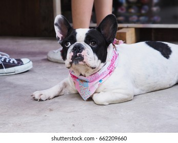 French bulldog dog lying on the floor looking at owner.