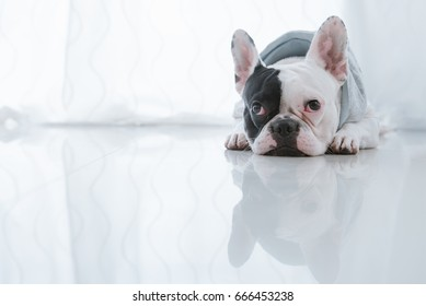 French bulldog dog lying on the floor looking sad
