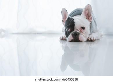 French bulldog dog lying on the floor looking sad