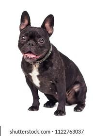 French Bulldog dog on white background