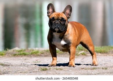 French bulldog dog portrait