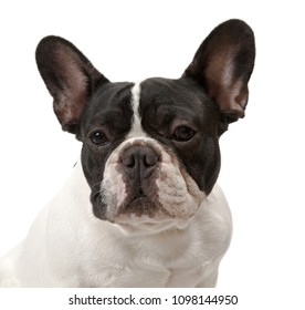 French Bulldog dog portrait, isolated on white background